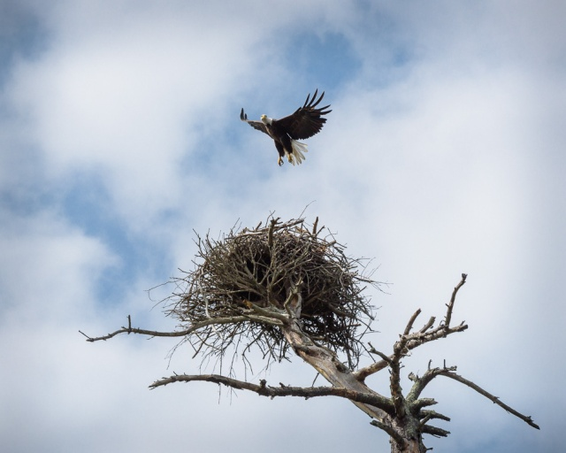 american-bald-eagle-takeoff-4
